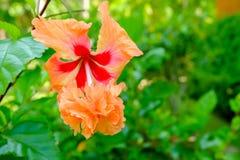 Hibiscus άνθος στον κήπο στοκ εικόνα με δικαίωμα ελεύθερης χρήσης