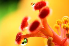 Hibiscus ακραία μακροεντολή μίσχων λουλουδιών στοκ εικόνα με δικαίωμα ελεύθερης χρήσης