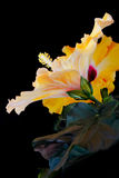 hibiscus ανθίσεων πορτοκάλι Στοκ φωτογραφίες με δικαίωμα ελεύθερης χρήσης