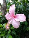 hibiscus ανοικτό ροζ Στοκ Εικόνα