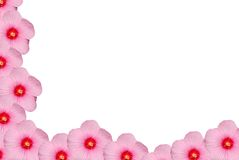 hibiscus απομόνωσαν το ροζ Στοκ Φωτογραφίες