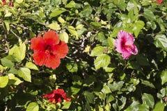 Hibiscus διαφωνία στοκ εικόνες