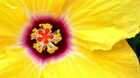 Hibiscus λεπτομέρεια απόθεμα βίντεο