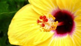 Hibiscus λεπτομέρεια φιλμ μικρού μήκους