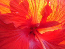 hibiscus ηλιοφώτιστα Στοκ εικόνες με δικαίωμα ελεύθερης χρήσης