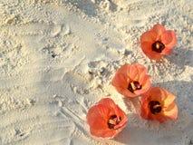 Hibiscus θάλασσας Στοκ Εικόνες
