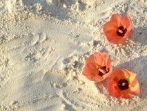 Hibiscus θάλασσας Στοκ φωτογραφία με δικαίωμα ελεύθερης χρήσης