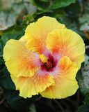 hibiscus κίτρινα Στοκ εικόνα με δικαίωμα ελεύθερης χρήσης