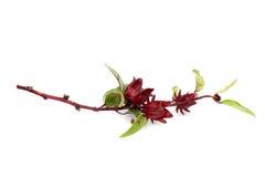 hibiscus καρπών roselle sabdariffa στοκ εικόνες