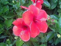 Hibiscus κινέζικα λουλουδιών αυξήθηκαν Στοκ Εικόνα