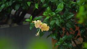 Hibiscus κρέμας λουλούδι κάτω από τη βροχή φιλμ μικρού μήκους