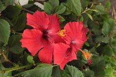 Hibiscus κόκκινα λουλούδια Στοκ φωτογραφίες με δικαίωμα ελεύθερης χρήσης