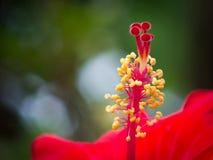 Hibiscus κόκκινη μακρο εικόνα λουλουδιών στοκ εικόνες