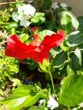 Hibiscus ` ΚΌΚΚΙΝΟ ` λουλούδι στοκ φωτογραφίες