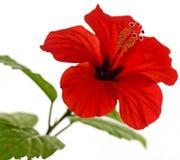hibiscus κόκκινο Rosa sinensis λ Στοκ Εικόνα