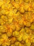 hibiscus λουλουδιών ανασκόπησ& Στοκ Εικόνες