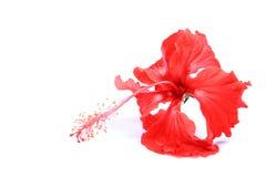 hibiscus λουλουδιών κόκκινο Στοκ εικόνες με δικαίωμα ελεύθερης χρήσης
