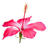 hibiscus λουλουδιών κόκκινο ελεύθερη απεικόνιση δικαιώματος