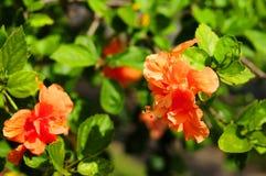 hibiscus λουλουδιών πορτοκάλι Στοκ εικόνα με δικαίωμα ελεύθερης χρήσης