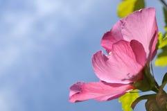 hibiscus λουλουδιών ροζ Στοκ εικόνα με δικαίωμα ελεύθερης χρήσης