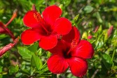 Hibiscus λουλούδια στο θάμνο Στοκ Φωτογραφίες