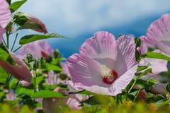 Hibiscus λουλούδι syriacus σε θερινό ηλιόλουστο ημερησίως Στοκ Εικόνες