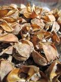 Hibiscus μερών σπόρος Στοκ φωτογραφία με δικαίωμα ελεύθερης χρήσης