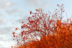 Hibiscus μούρα Στοκ Φωτογραφία