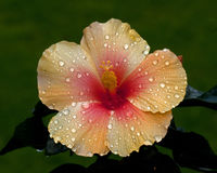 Hibiscus νέος απόλλωνας Στοκ φωτογραφίες με δικαίωμα ελεύθερης χρήσης