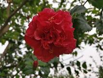 Hibiscus ομορφιά με τα waterdrops στη βροχερή ημέρα Στοκ Εικόνες