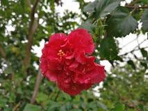 Hibiscus ομορφιά με τα waterdrops στη βροχερή ημέρα Στοκ εικόνες με δικαίωμα ελεύθερης χρήσης