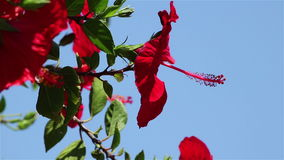 hibiscus λουλουδιών κινηματο&ga απόθεμα βίντεο