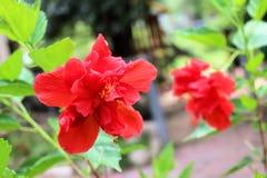 hibiscus λουλουδιών κόκκινο Στοκ φωτογραφίες με δικαίωμα ελεύθερης χρήσης