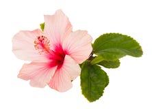hibiscus λουλουδιών ροζ Στοκ Εικόνες