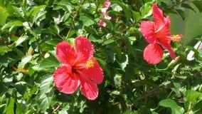Hibiscus λουλούδια που ταλαντεύονται στον αέρα απόθεμα βίντεο