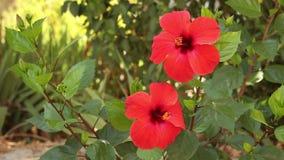 Hibiscus λουλούδια απόθεμα βίντεο