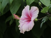 Hibiscus λουλούδια Στοκ Φωτογραφία