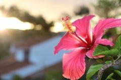 Hibiscus λουλούδι των τροπικών κύκλων Στοκ Φωτογραφίες