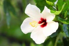 Hibiscus λουλούδι Στοκ εικόνα με δικαίωμα ελεύθερης χρήσης