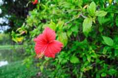 Hibiscus λουλούδι Στοκ εικόνες με δικαίωμα ελεύθερης χρήσης