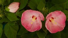 Hibiscus οφθαλμοί που ανθίζουν στο θάμνο απόθεμα βίντεο