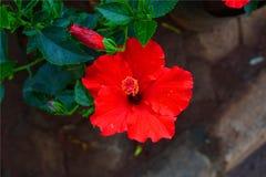 Hibiscus & οφθαλμός Στοκ Εικόνες
