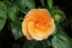 hibiscus πορτοκάλι Στοκ Εικόνες