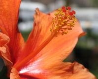 hibiscus πορτοκάλι Στοκ Φωτογραφία