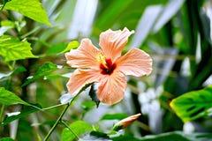 Hibiscus πορτοκάλι μεγάλο Στοκ φωτογραφία με δικαίωμα ελεύθερης χρήσης