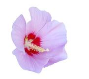 hibiscus πορφύρα Στοκ Εικόνα