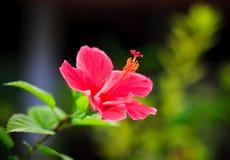 hibiscus ροζ Στοκ Φωτογραφίες