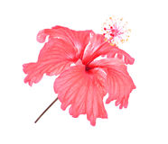 Hibiscus ροζ Στοκ εικόνες με δικαίωμα ελεύθερης χρήσης