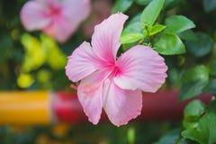 Hibiscus ροζ Στοκ εικόνα με δικαίωμα ελεύθερης χρήσης