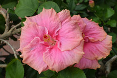 Hibiscus ροζ Στοκ Εικόνες